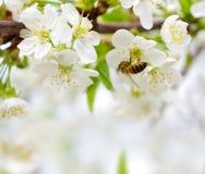 Fundo da mola com flor de cereja imagens de stock