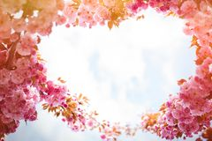 Fundo da mola com florescência da cereja oriental japonesa sakura Foto de Stock Royalty Free