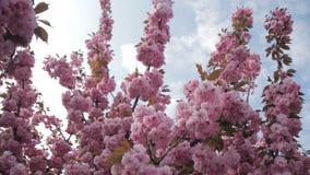 Fundo da mola com florescência da cereja oriental japonesa sakura vídeos de arquivo