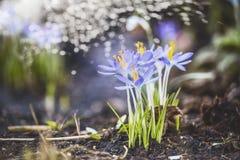 Fundo da mola com primeiros açafrões no jardim ou no parque com bokeh Imagens de Stock Royalty Free