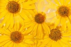 Fundo da mola da natureza do verão com flor amarela, flora fotografia de stock