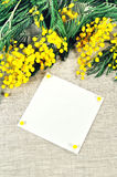 Fundo da mola - o cartão branco com espaço livre para o texto na mimosa floresce Foto de Stock Royalty Free