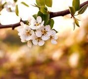 Fundo da natureza, árvores de florescência do jardim na luz do por do sol Fotografia de Stock