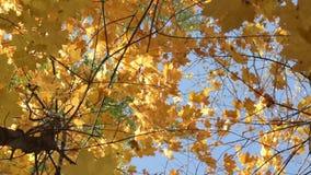 Fundo da natureza Brilho bonito de Sun com do sopro em árvores do outono do vento filme