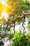 Fundo da natureza com árvore da montanha Fotos de Stock