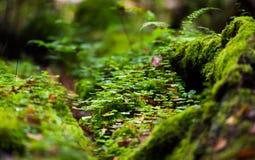 Fundo da natureza com folhas do trevo Foto de Stock