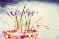 Fundo da natureza da mola com flores dos açafrões Fotos de Stock