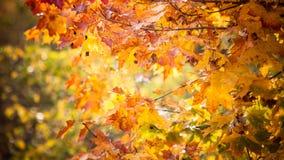 Fundo da natureza das árvores da queda das folhas de outono Fotografia de Stock