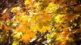 Fundo da natureza das árvores da queda das folhas de outono Imagem de Stock