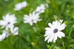 Fundo da natureza das flores brancas imagem de stock