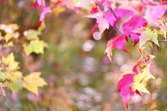 Fundo da natureza de Sugar Maple Leaves Framing Autumn Imagem de Stock Royalty Free