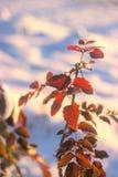 Fundo da natureza do inverno Contexto do feriado do Natal, ramo de árvore congelado Fotos de Stock Royalty Free