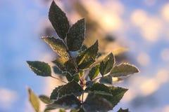 Fundo da natureza do inverno Contexto do feriado do Natal, ramo de árvore congelado Imagens de Stock