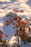 Fundo da natureza do inverno Contexto do feriado do Natal, ramo de árvore congelado Fotografia de Stock