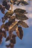 Fundo da natureza do inverno Contexto do feriado do Natal, ramo de árvore congelado Imagens de Stock Royalty Free