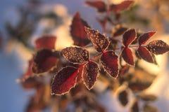 Fundo da natureza do inverno Contexto do feriado do Natal, ramo de árvore congelado Fotografia de Stock Royalty Free