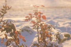 Fundo da natureza do inverno Contexto do feriado do Natal, ramo de árvore congelado Foto de Stock