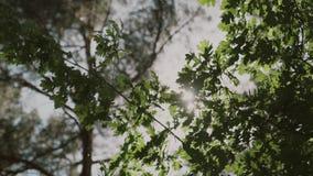 Fundo da natureza O brilho bonito de Sun com do sopro no verde da árvore do vento sae vídeos de arquivo