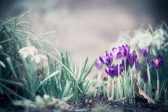 Fundo da natureza da primavera com açafrões bonitos Foto de Stock