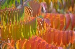 Fundo da natureza - sumac do staghorn fotografia de stock royalty free