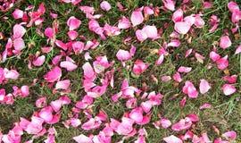 Fundo da pétala de Rosa Fotografia de Stock