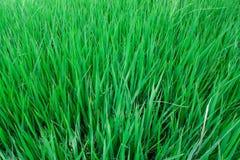 Fundo da paisagem da grama verde do campo do arroz Imagem de Stock