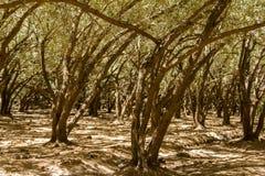 Fundo da paisagem de Marrocos do bosque da oliveira fotografia de stock