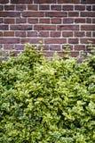 Fundo da parede de tijolo com arbustos fotos de stock royalty free