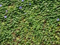 Fundo da parede do verde da planta da trepadeira imagem de stock