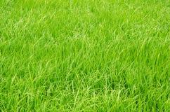 Fundo da plantação do arroz Foto de Stock