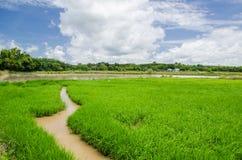 Fundo da plantação do arroz Imagem de Stock Royalty Free