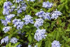 Fundo da planta do prado: flores pequenas azuis Imagem de Stock Royalty Free