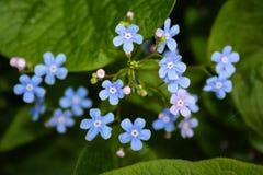 Fundo da planta do prado: flores pequenas azuis - grama ascendente do miosótis e verde próxima Foto de Stock Royalty Free