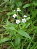Fundo da planta do prado: flores pequenas azuis - grama ascendente do miosótis e verde próxima Fotos de Stock Royalty Free