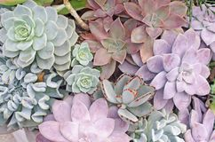 Fundo da planta do Succulent Foto de Stock Royalty Free