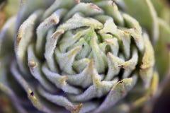 Fundo da planta sempre-verde Imagem de Stock Royalty Free