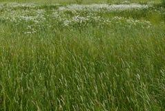 Fundo da primavera com gramas e margaridas em um campo fotos de stock