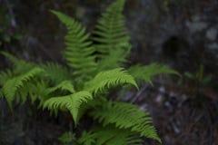 Fundo da samambaia da floresta Imagens de Stock