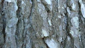 Fundo da textura da casca de pinheiro fotos de stock