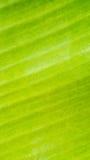 Fundo da textura da folha da banana Foto de Stock
