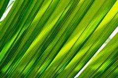 Fundo da textura da folha do coco Foto de Stock