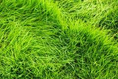 Fundo da textura da grama verde Imagem de Stock Royalty Free