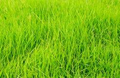 Fundo da textura da grama verde Fotos de Stock