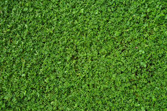 Fundo da textura da grama verde Imagens de Stock
