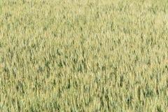 Fundo da textura do campo de trigo Foto de Stock