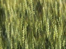 Fundo da textura do campo de trigo Fotos de Stock