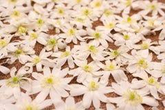 Fundo da textura do teste padrão de flores brancas de Snowdrop Fundo branco macio do ramalhete das flores do snowdrop Primeiras f imagens de stock