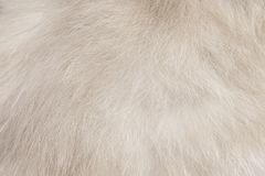 Fundo da textura dos testes padrões da pele do gato, o branco ou o cinzento imagens de stock royalty free