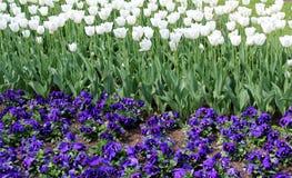 Fundo da tulipa e do amor perfeito Imagem de Stock