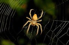 Fundo da Web de aranha Fotografia de Stock Royalty Free